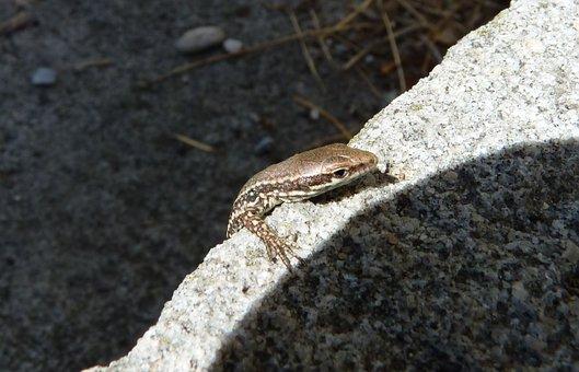 Lizard, Small, Reptile, Nature, Animal