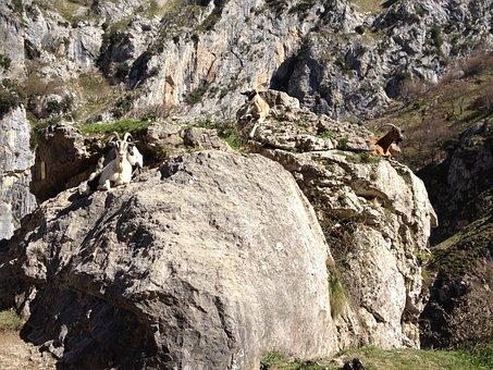 Goats, Animals, Nature, Mountain, Ibex, Horns