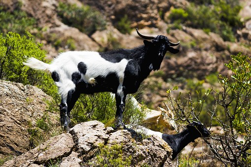 Goat, Nature, Mountain, Ibex, Pose, Animal World, Kid