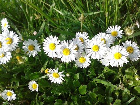 Flower, Nature, Grass, Daisy, Spring, Garden, Petal