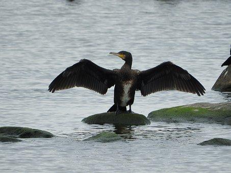 Cormorant, Water Bird, Sea, Coast, Wings, Phalacrocorax