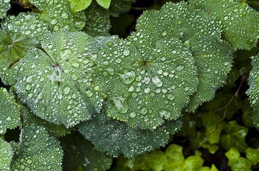 Perennial Plant, Frauenmantel, Rain, Spring