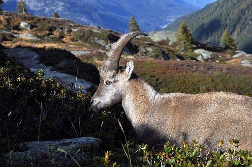 Uk, Female Ibex, Capra Ibex Female