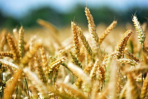 Wheat, Grain, By Chaitanya K, Agriculture, Wheat Ear