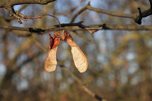 Acer, Maple, Pseudoplatanus, Seeds, Sycamore, Autumn