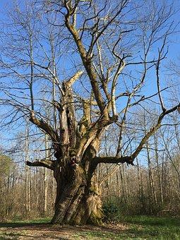 Tree, Millennium, Forest, Ancestor, Spirit