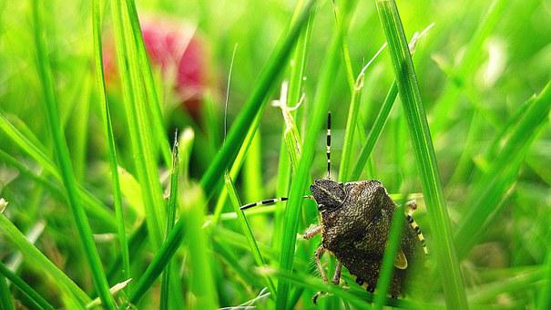 Stink Bug, Bug, Grass, Insect, Animal, Garden, Natural