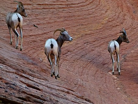 Mountain Sheep, Mammal, Animal, Nature
