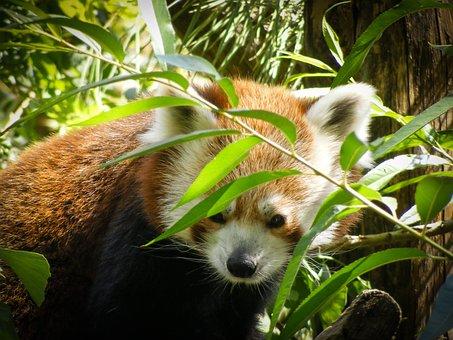 Red Panda, Ailurus Fulgens, Ursine, Animal, Zoo