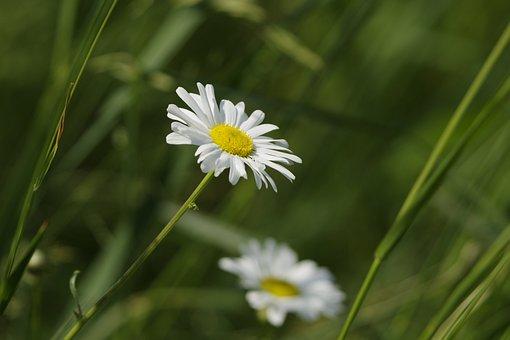 Mayweed, Anthemis Arvensis, Flower, Plant