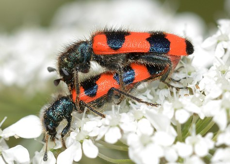 Insects, Beetles, Trichodes, Apiarius, Copula