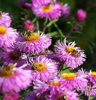 Astra, Bees, Flowers, Autumn, Insects, Nature