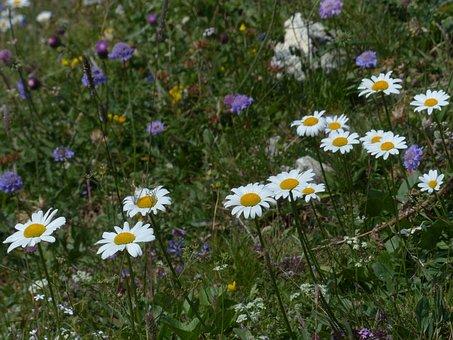Daisies, Meadows Margerite, Blumw, Blossom, Bloom