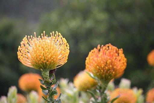 Fynbos, South Africa, Cape Town, Kirstenbosch, Yellow