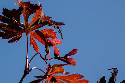 Leaves, Colorful, Color, Japanese Maple, Maple Seeds