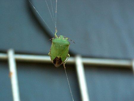 Green Stinkwanze, Bug, Stink Bug, Common Stinkwanze
