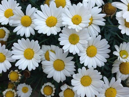 Flowers, Summer, Daisies, Summer Plant, Nature