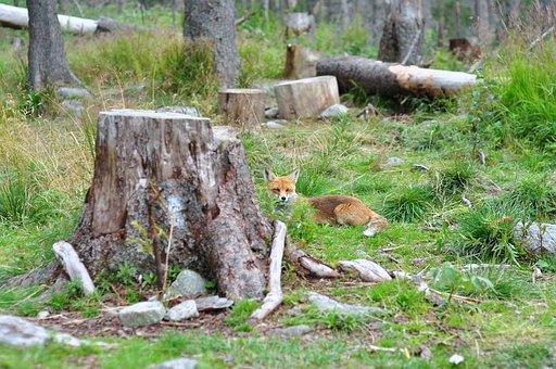 Fox, Nature, French Toast, Tűzróka, Rókaféle, Fauna