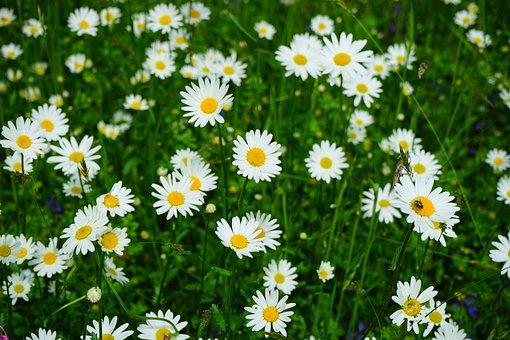 Meadows Daisies, Flowers, Leucanthemum Vulgare
