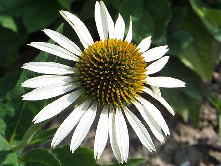 Coneflower, Flower, White, Yellow, Macro, Echinacea