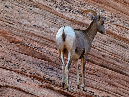 Mountain Sheep, Mammal, Animal, Wild Life