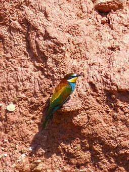 Bee-eater, Colorful, Mud Wall, Nest, Abellarol