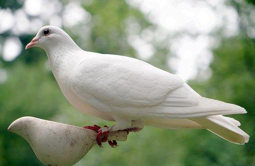 Dove, Bird, Nature, Peace, White, Hope, Symbol