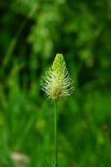 Phyteuma Spicatum, Flower, Blossom, Bloom, White