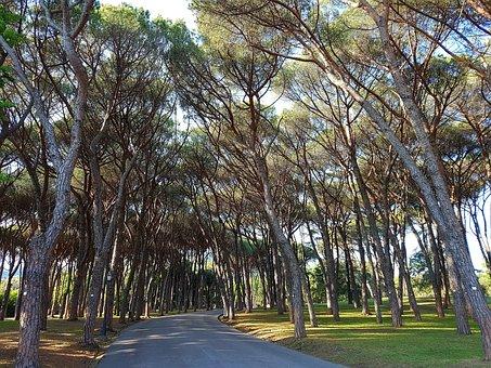 Pine, Pinus Pinea, Pine Forest, Pine Grove, Park