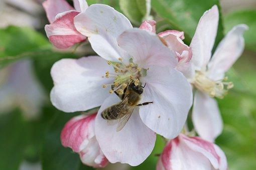 Bee, Pollination, Apple Flower, Pollen, Nectar, Honey