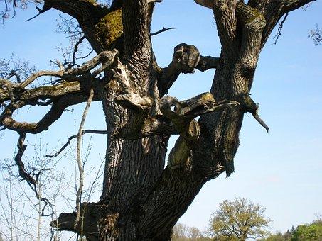 Oak, Oak Tree, Gnarled, Bizzar, Tree, Tree Faces