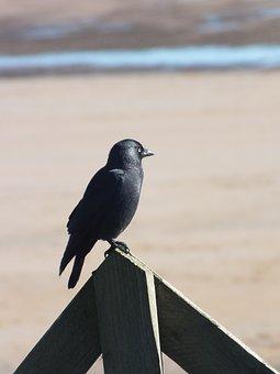 Crow, Bird, Black, Nature, Alnmouth, Northumberland