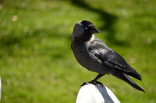 Jackdaw, Member Of The Crow Family, Bird