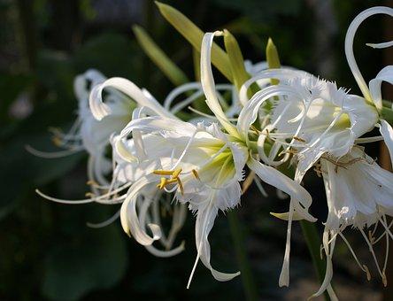 Błonczatka, Hymenocallis, White, White Flowers, Ismena