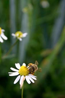 Bee, Honey Bee, Insect, Blossom, Bloom, Close Up