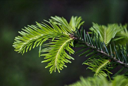 Fir, Fir Needle, Gałąż Fir, Fir Tree, Coniferous