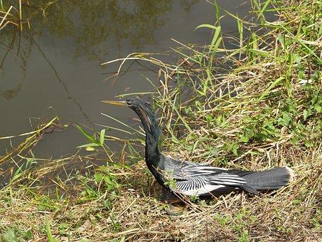 Anhinga, Snakebird, Darter, Water Turkey, Secret Crow