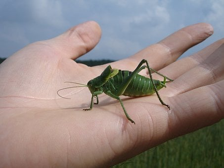 Wart Biter, Decticus Verrucivorus, Grasshopper, Insect