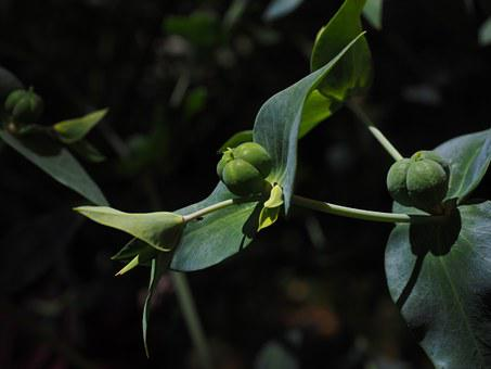 Euphorbia Lathyris, Spurge, Euphorbia, Spurge Family