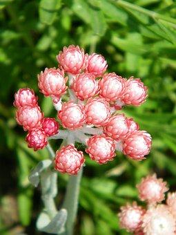 Everlasting Flower, Helichrysum, Flower, Summer, Pink