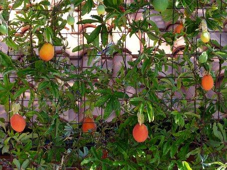Japanese Medlar Of Wool, Fruits, Fruit, Orange Red