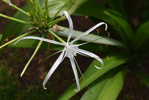 Spider Lily, Flower, Hymenocallis