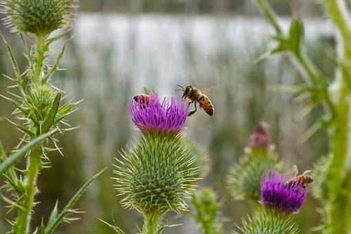 Bee, Thistle, Macro, Flower, Prickly, Scotch, Scottish