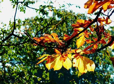 Maple Leaf, Beech Leaves, Colored Leaves