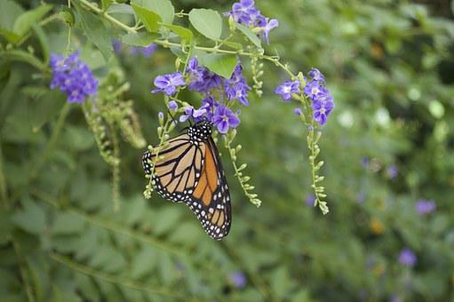 Monarch, Butterfly, Orange, Wings, Insect, Bug, Nature