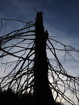 Fir Tree, Tree, Old, Dead Plant, Aesthetic, Branches