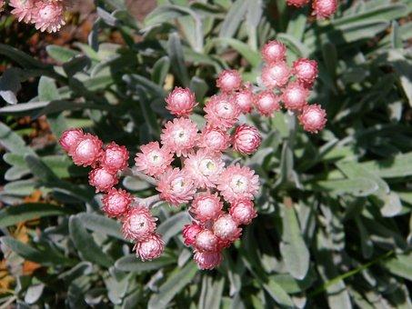 Helichrysum, Everlasting, Flower, Pink