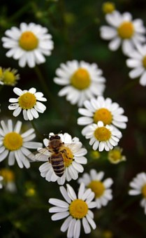 Bee, Honey Bee, Pollen, Insect, Close Up, Blossom