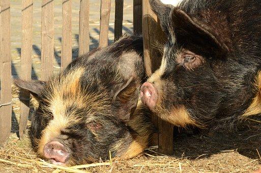 Animal, Mammal, Pig, Hog, Potbellied Pig, Nose, Sleep
