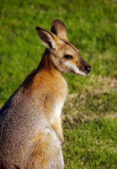 Wallaby, Rednecked Wallaby, Australia, Queensland